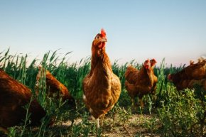 hbfchicken-farmmichael-george-4